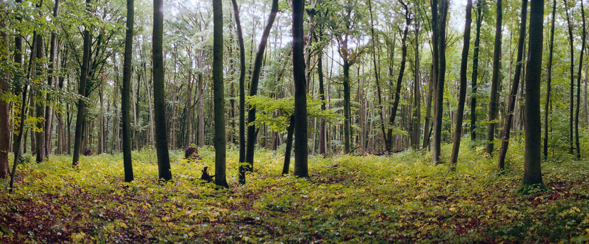 Buchen nach dem Regen im Hainich Buchenwald in Thüringen