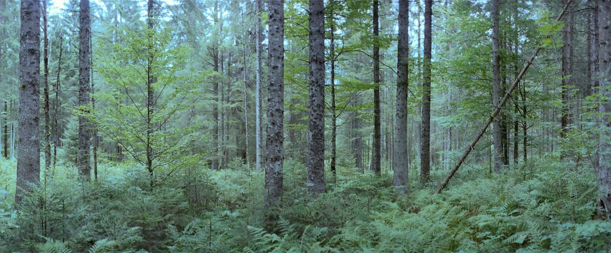 Nadelwald und Farne im Hochschwarzwald, gelegen im Südschwarzwald