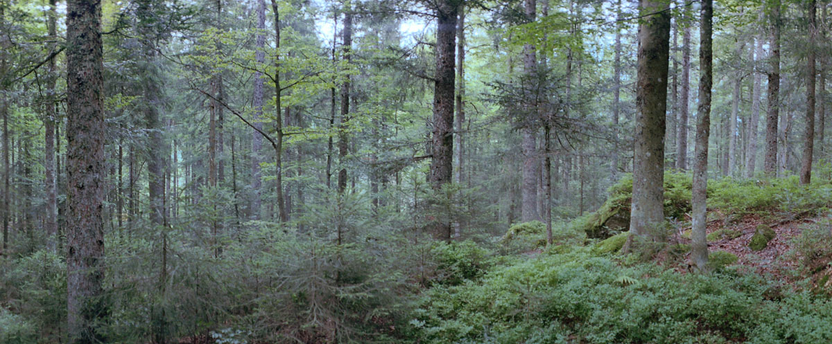 Fichten und Tannen im Bannwald im Hochschwarzwald, gelegen im Südschwarzwald