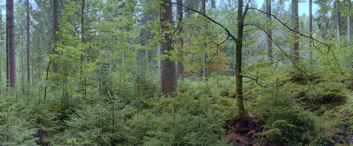 Wald mit Fichten, Buchen und Tannen im Nordschwarzwald