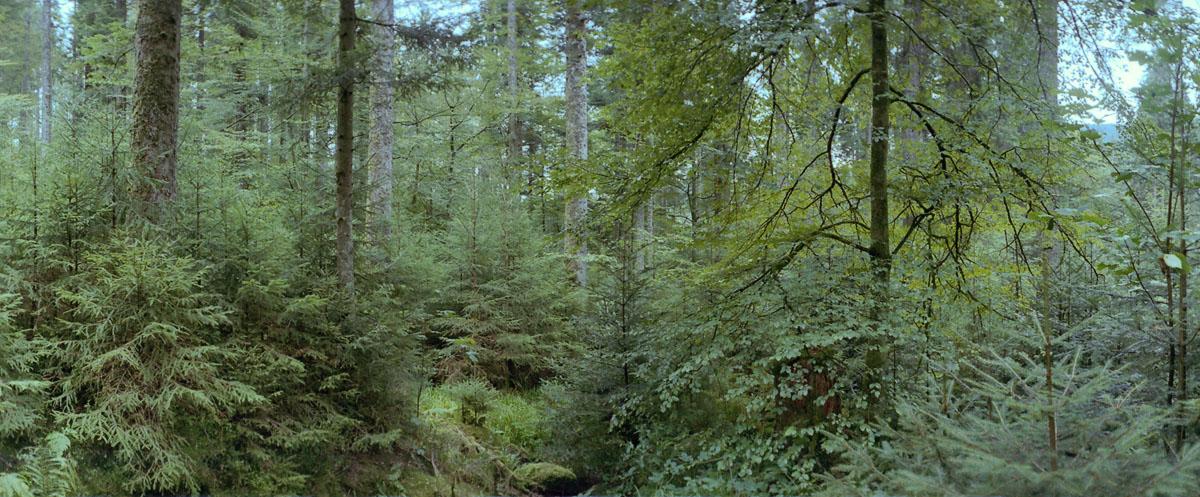 Mischwald mit Fichten, Buchen und Tannen im Norden vom Mittelgebirge Schwarzwald