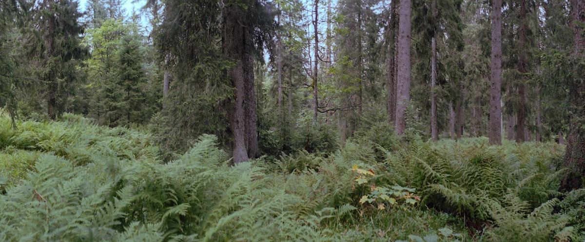 Nadelwald und Farne im Hochschwarzwald, gelegen im Naturschutzgebiet Feldberg