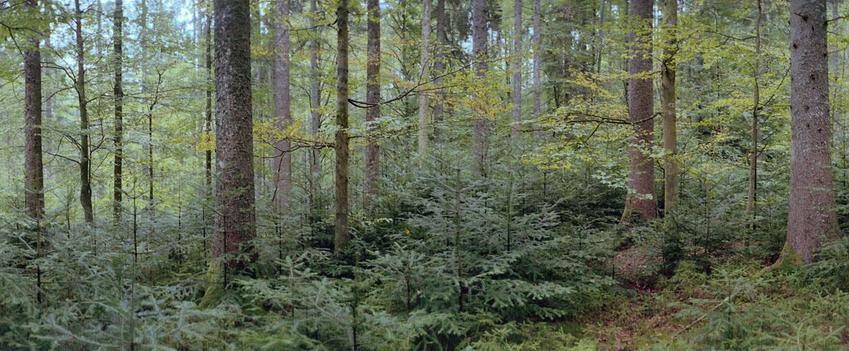 Wald mit Fichten, Buchen und Tannen im Schwarzwald