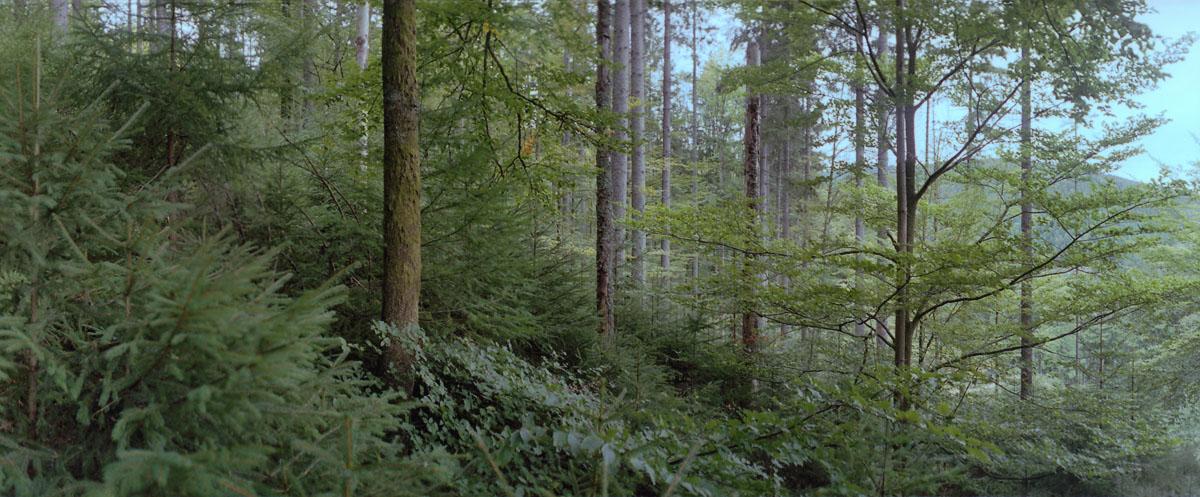 Fichten, Buchen und Tannen im nördlichen Schwarzwald