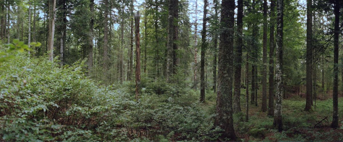 Fichten und Tannen im Bannwald am Feldbergsee im Hochschwarzwald