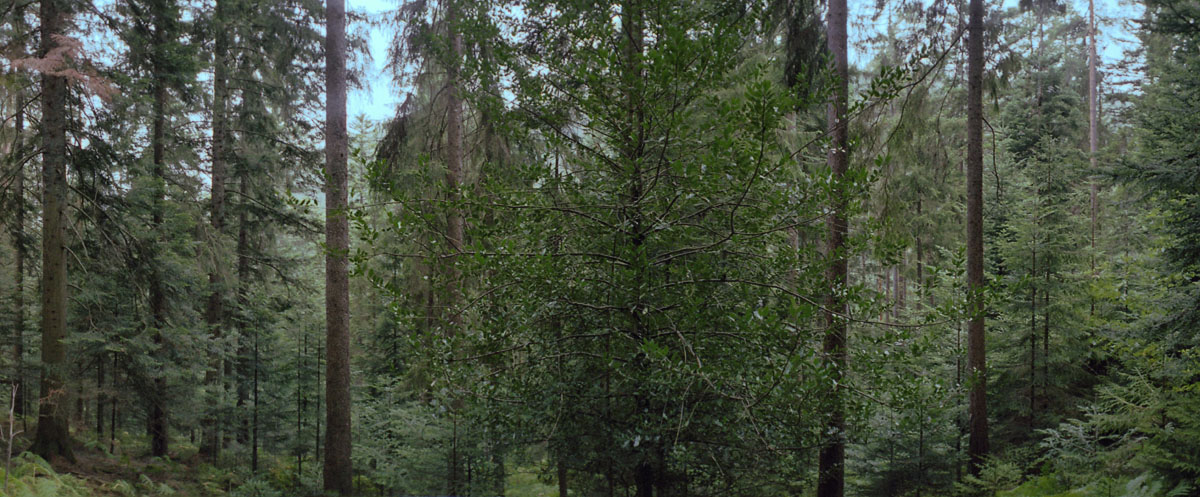 Wald mit Fichten und Tannen im Nordschwarzwald
