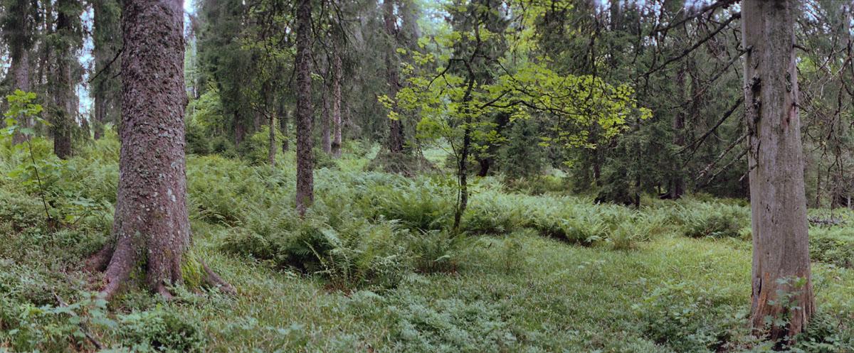 Nadelwald im Hochschwarzwald, gelegen im südlichen Schwarzwald