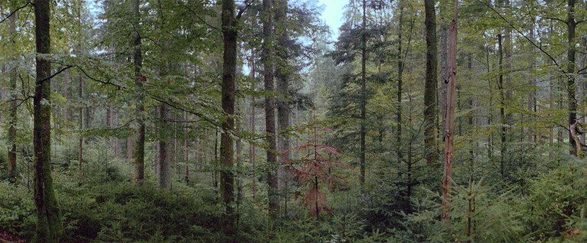 Wald mit Fichten, Buchen und Tannen im Norden vom Mittelgebirge Schwarzwald