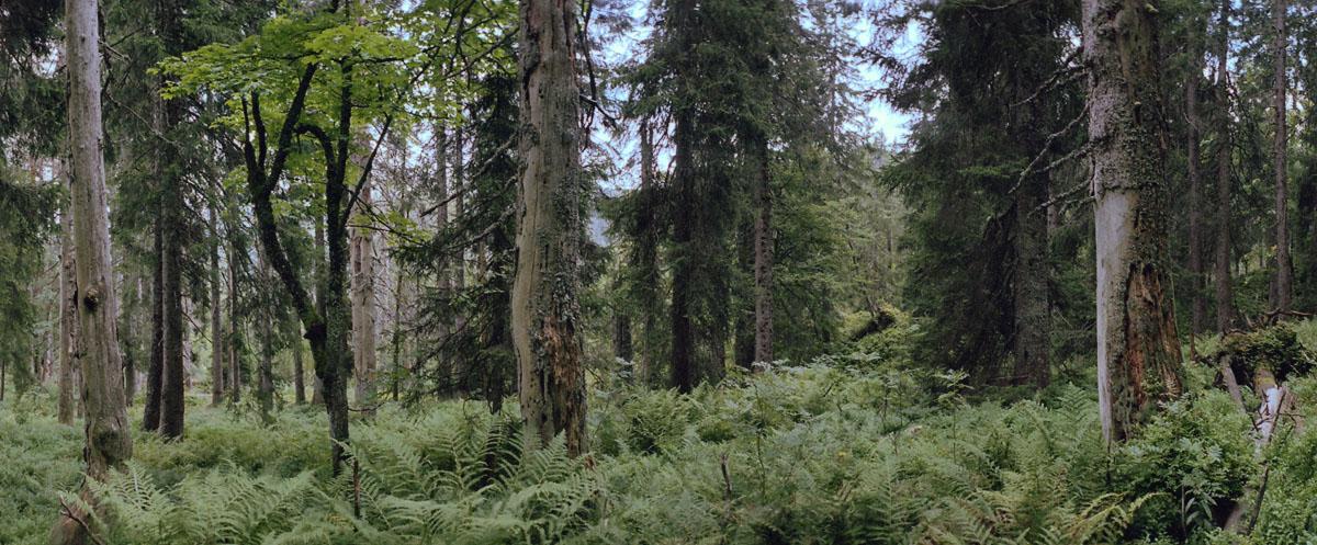 Nadelwald und Farn im Hochschwarzwald, gelegen im Mittelgebirge Schwarzwald.