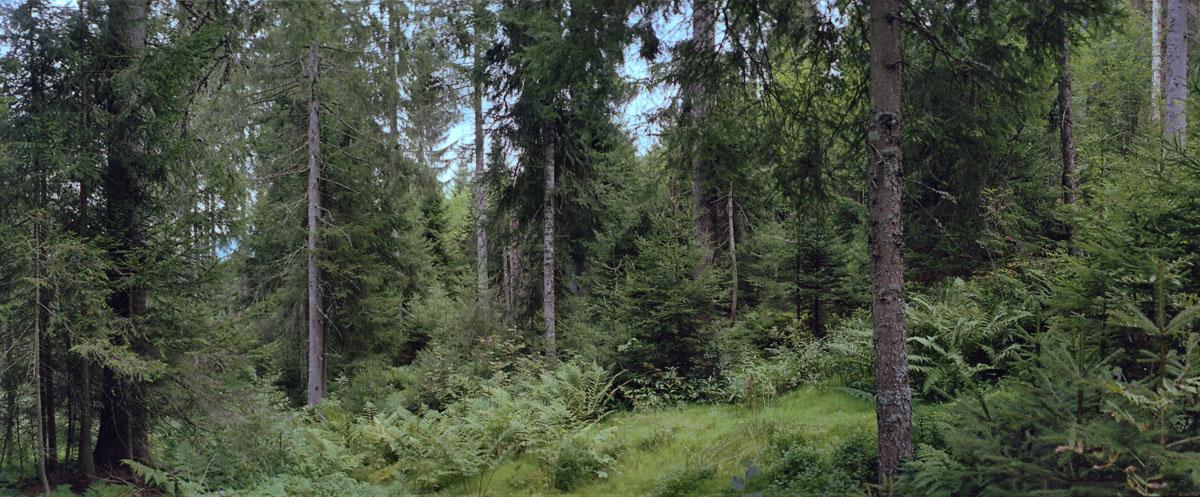 Eine Lichtung im Hochschwarzwald mit Nadelwald und Farnen