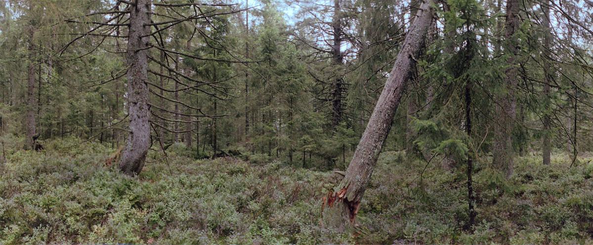 Karger Wald mit Fichten und Tannen im Hochmoor Kaltenbronn im Schwarzwald