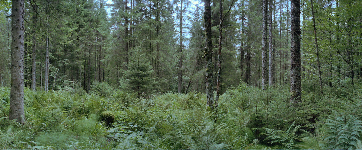 Lichtung mit Nadelbaum im Hochschwarzwald, gelegen im Südschwarzwald
