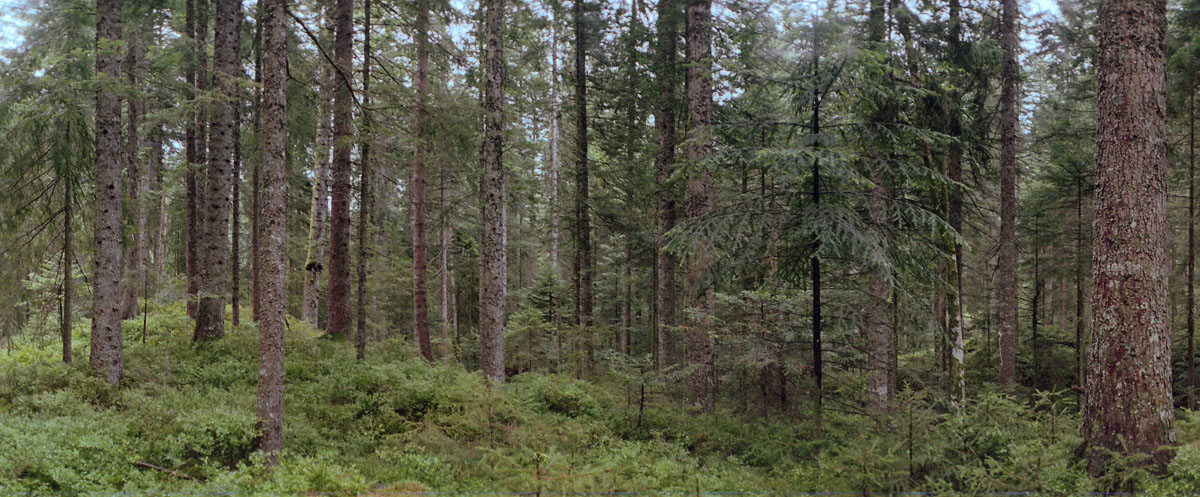 Wald mit Fichten und Tannen am Karsee Schurmsee im Schwarzwald