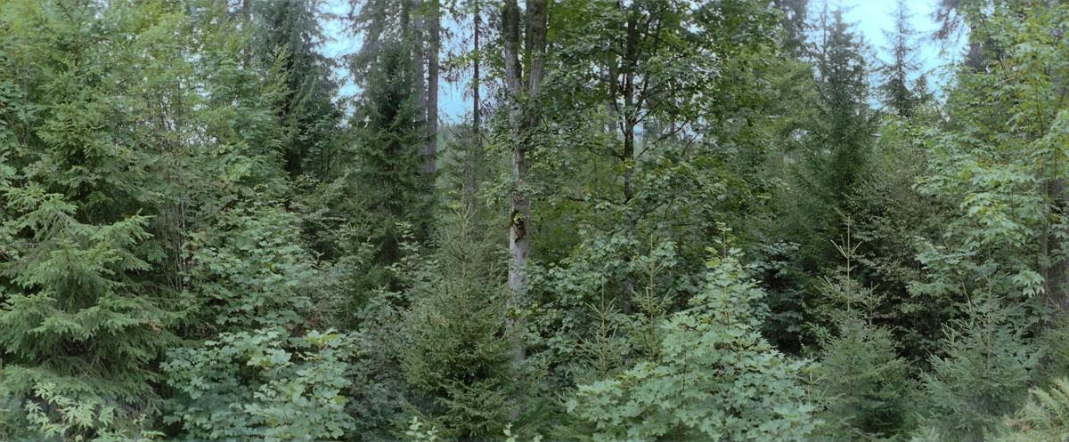 Mischwald im Hochschwarzwald, gelegen im Süden des Schwarzwalds