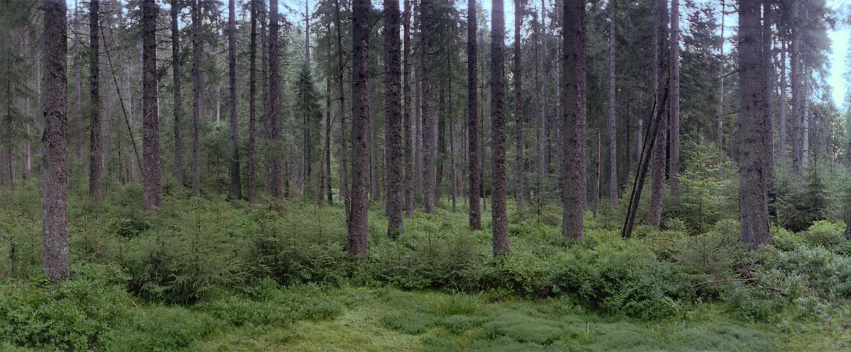 Wald und Hochmoor mit Fichten und Tannen am Karsee Schurmsee im Schwarzwald