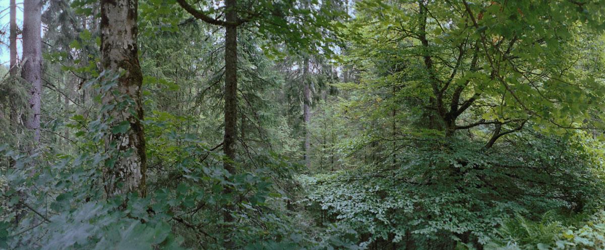 Mischwald mit Buchen, Birken und Fichten im Hochschwarzwald