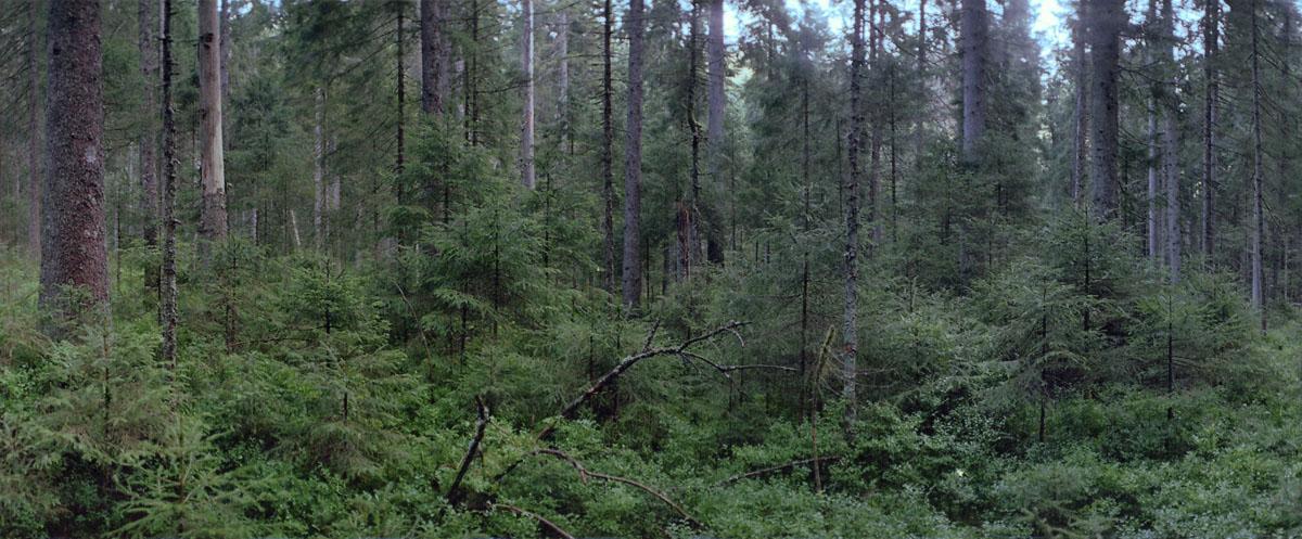 Nadelwald mit Fichten und Tannen am Karsee Schurmsee im Schwarzwald