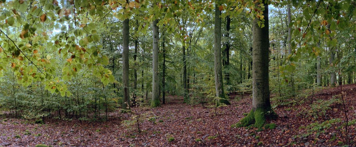 Buchenwald mit Buchen im Nationalpark Kellerwald-Edersee im Herbst
