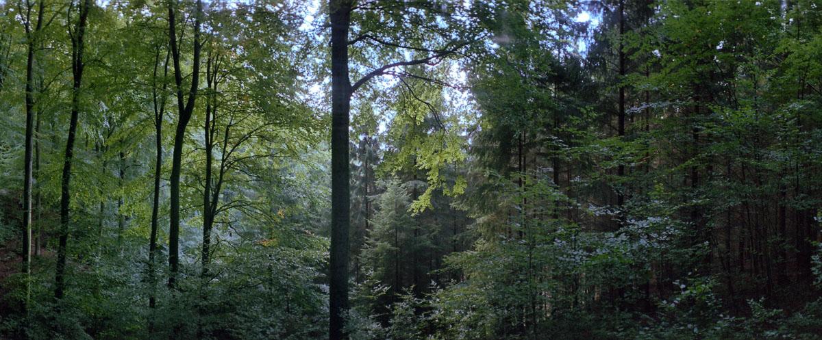 Mischwald mit Buchen und Fichten am Kermeter im Nationalpark und Mittelgebirge Eifel