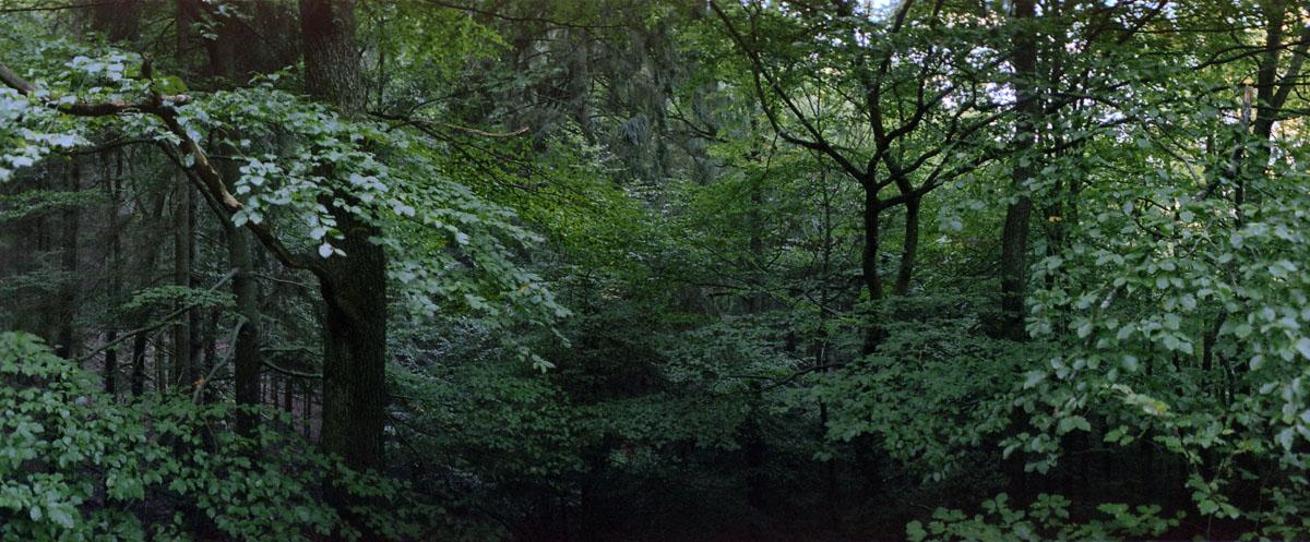 Buchenwald mit Buchen im Nationalpark und Mittelgebirge Eifel