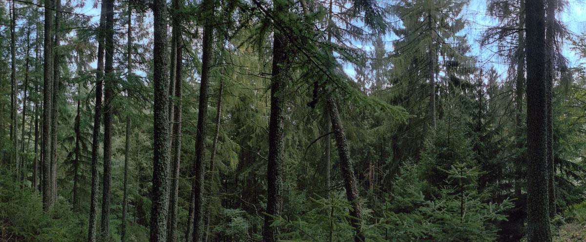 Nadelwald mit Fichten und Kiefern im Nationalpark und Mittelgebirge Eifel