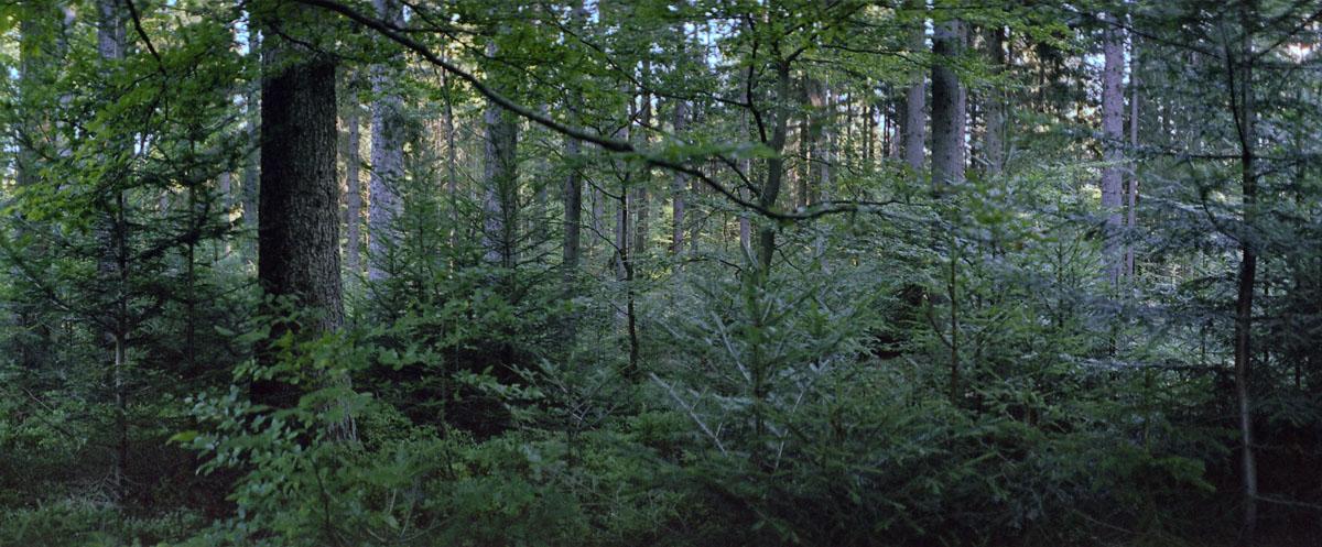 Bergmischwald mit Fichten, Tannen und Buchen im Nationalpark und Mittelgebirge Bayerischer Wald