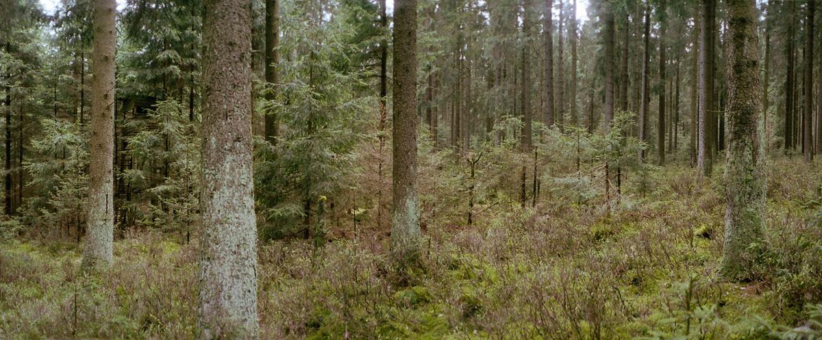 Fichtenwald im Nationalpark und Mittelgebirge Harz
