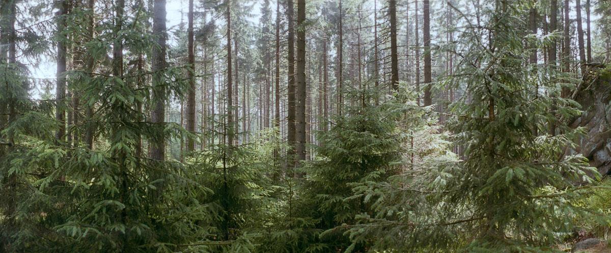 Fichten im Nationalpark Harz