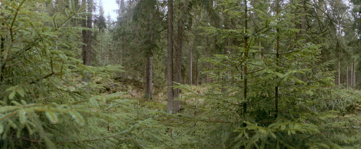 Nadelbäume im Nationalpark Harz