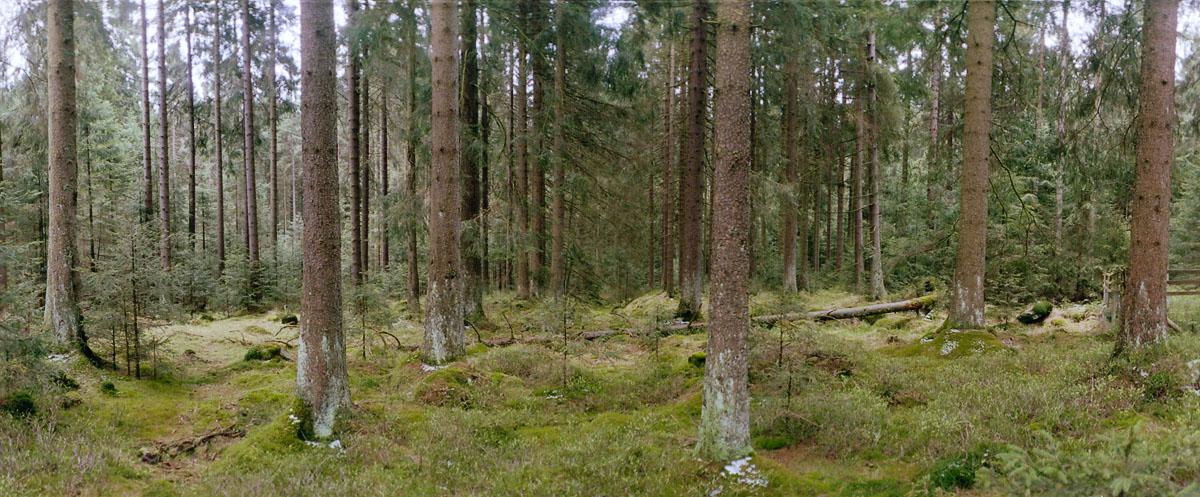 Nadelholz im Nationalpark und Mittelgebirge Harz