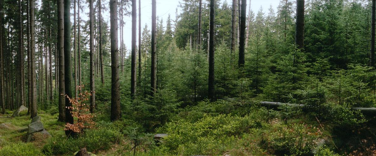 Nadelwald im Nationalpark und Mittelgebirge Harz