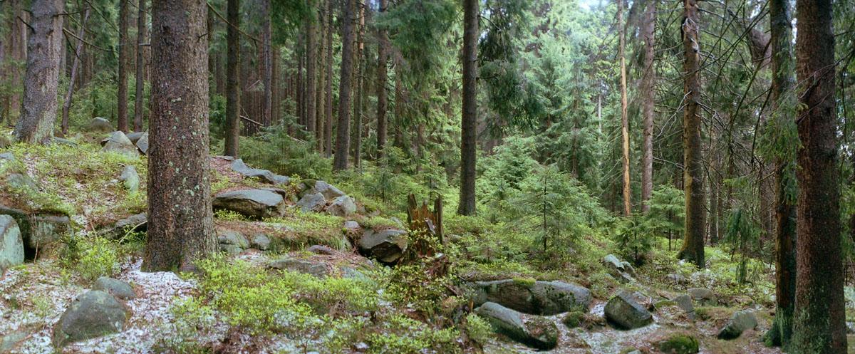 Nadelwald mit Fichten im Nationalpark Harz