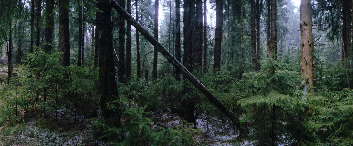 Fichten im Regen im Nationalpark Harz