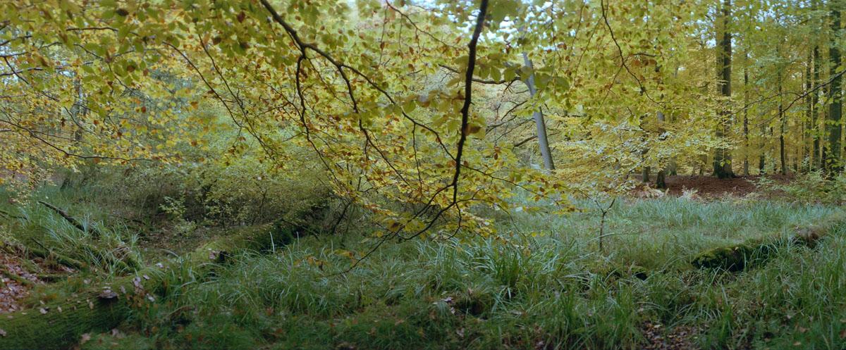 Buchen mit Flattergras im Weltnaturerbe Buchenwald Grumsin
