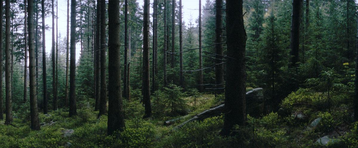 Fichten in anbrechender Nacht im Harz