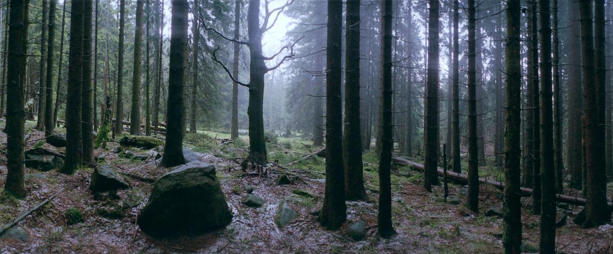 Nadelwald und Buche im Regen im Nationalpark Harz