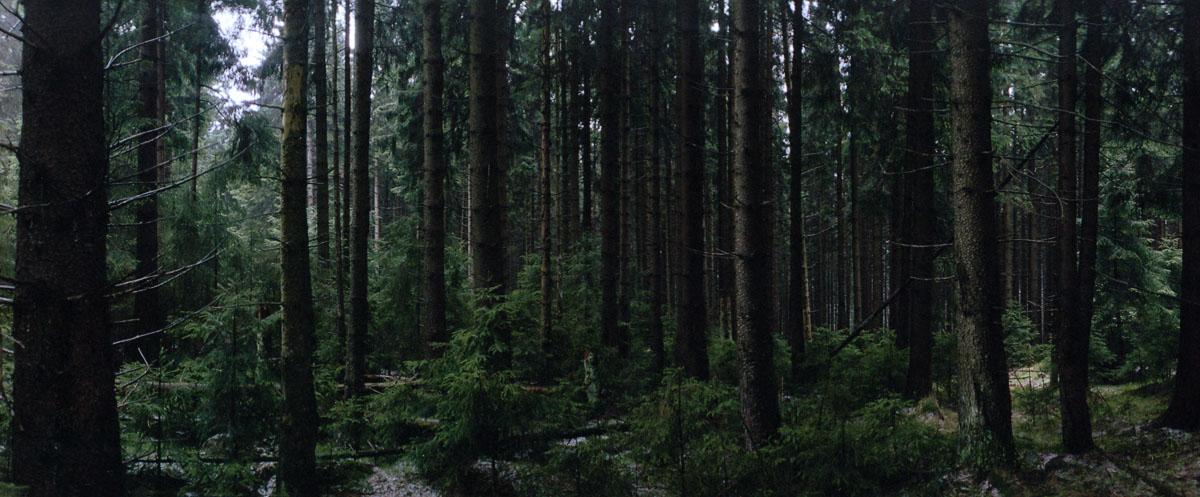 Die Nacht bricht an im Nadelwald Harz
