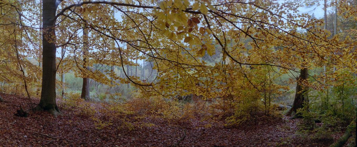 Buche am Moor im Weltnaturerbe Buchenwald Grumsin im Herbst