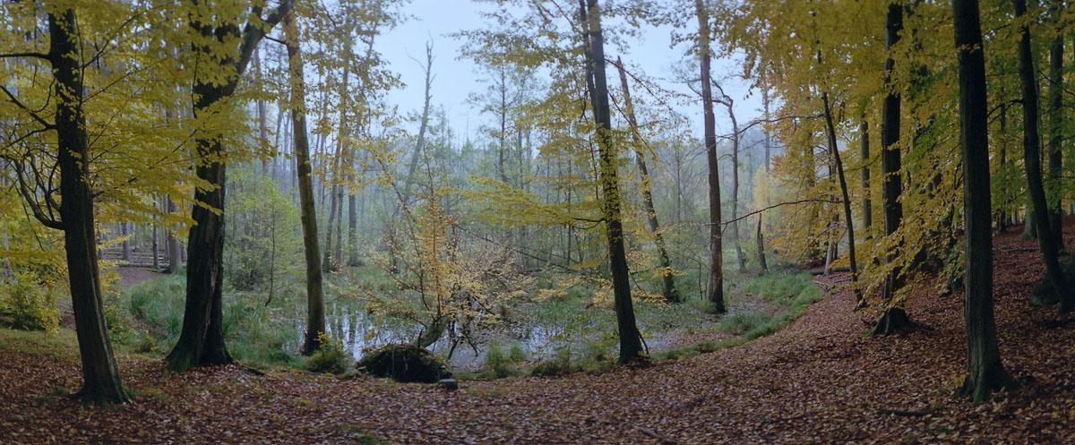 Buchen am Moor im Weltnaturerbe Buchenwald Grumsin im Herbst