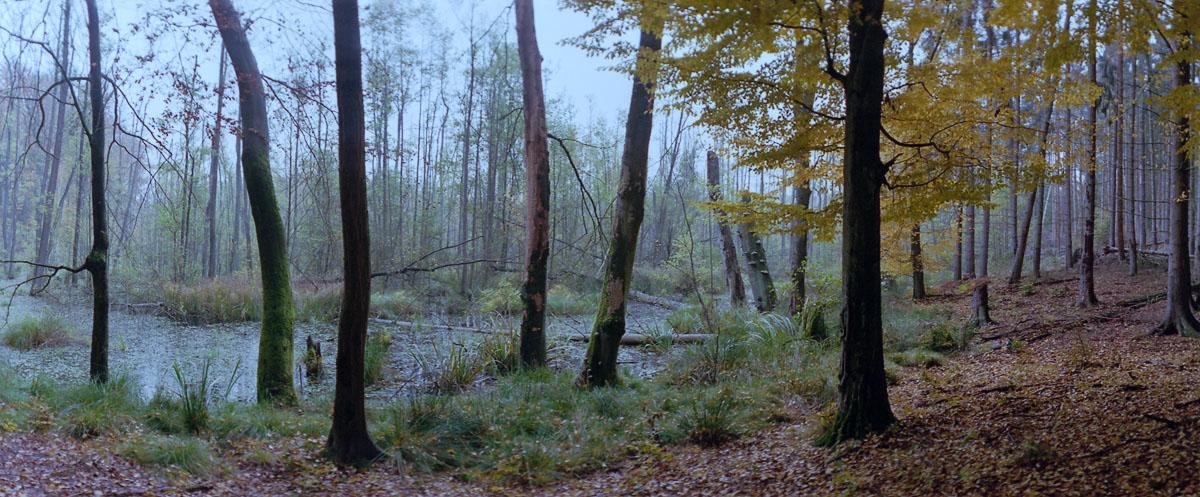 Moor mit Buchen und Erlen im Weltnaturerbe Buchenwald Grumsin