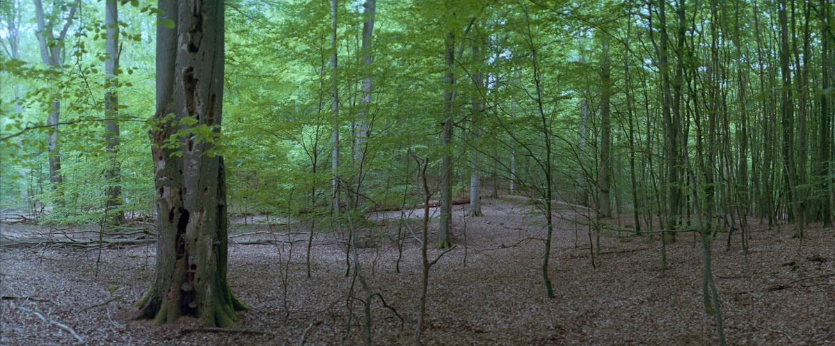 Buche im Buchenwald und Weltnaturerbe Serrahn im Müritz Nationalpark