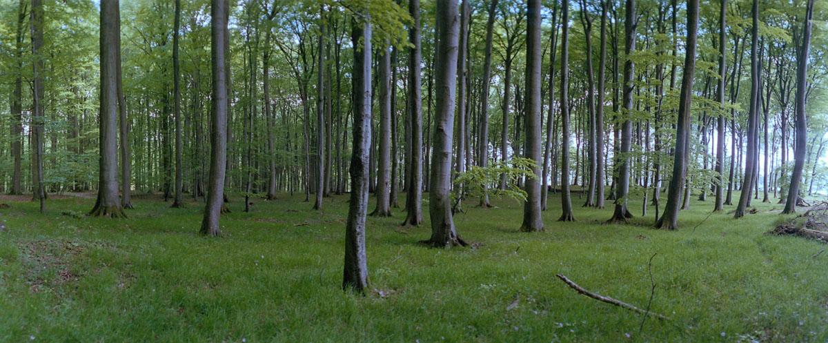 Buchen im Buchenwald und Nationalpark Jasmund auf Rügen