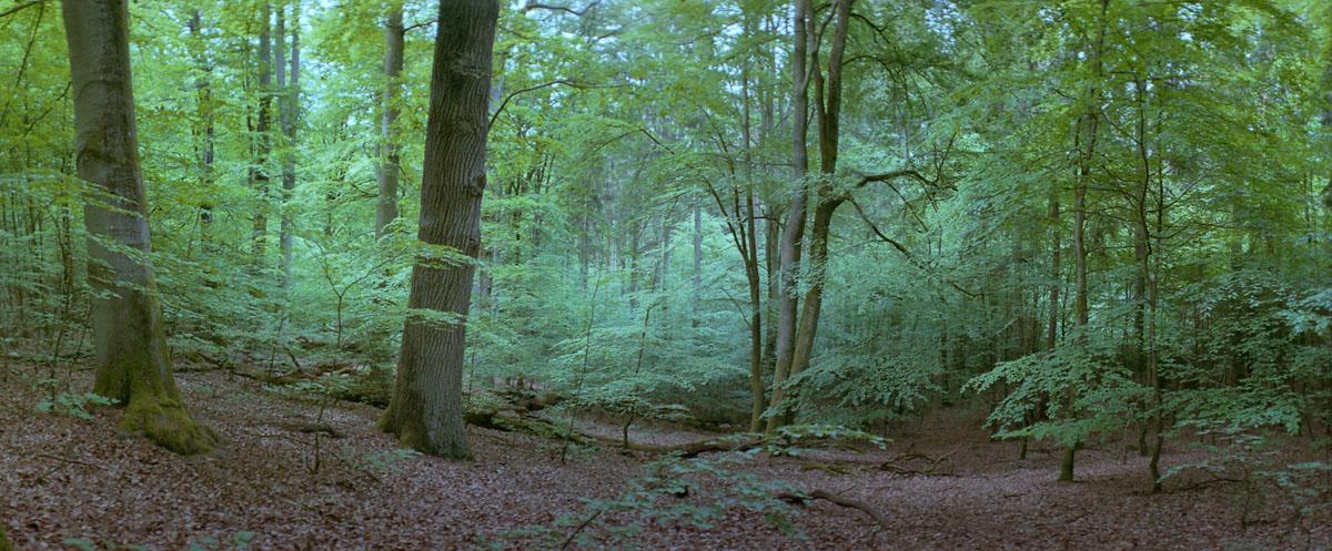 Buchen im Buchenwald und Weltnaturerbe Serrahn im Müritz Nationalpark