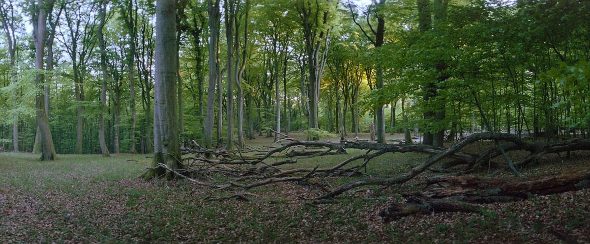 Sonnenuntergang mit Buchen im Buchenwald und Nationalpark Jasmund auf Rügen