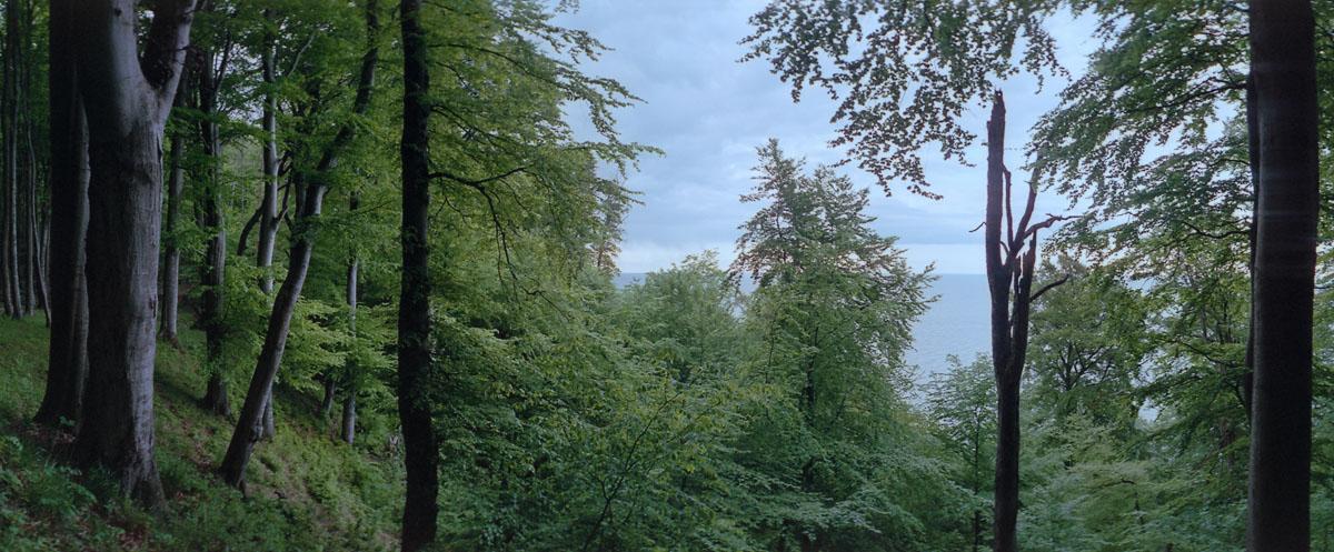 Buchen im Buchenwald und Nationalpark Jasmund auf Rügen an der Ostsee