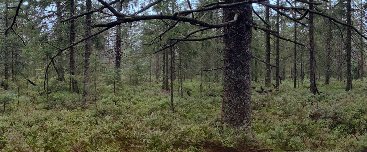 Nadelwald mit Fichten und Tannen im Hochmoor Kaltenbronn im Schwarzwald, Fotos mit einer Horizon 202