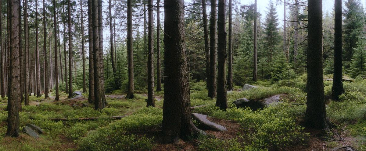 Nadelwald mit Fichten im Nationalpark und Mittelgebirge Harz, fotografiert mit der russischen Panoramakamera Horizon 202