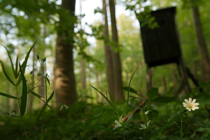 Waldsternmiere im Laubwald am Hochsitz