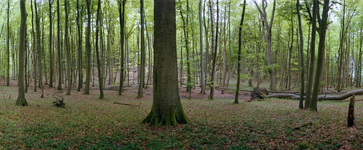 Buche im Buchenwald und Nationalpark Jasmund auf Rügen, Panorama mit Kleinbildkamera Horizon 202