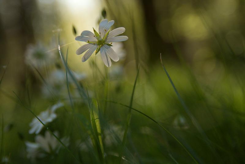 Sternmiere mit Blüte im Wald